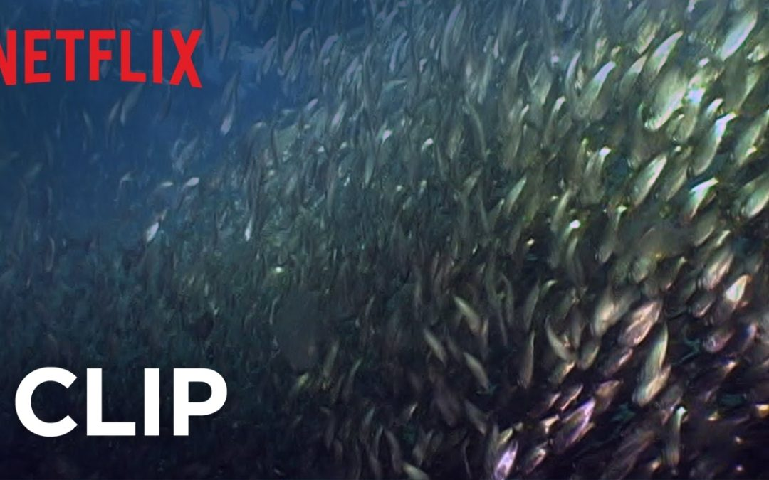 Mission Blue | Clip – Fish Oil Myth – Menhaden HD | Netflix